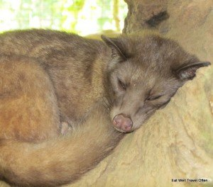 A sleepy luwak