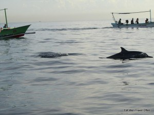Lovina dolphins