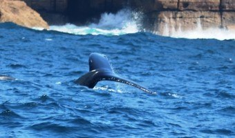 Sydney whale tales