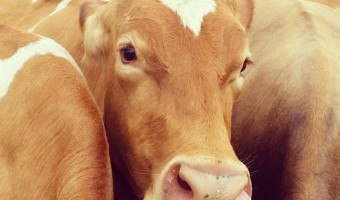 Maleny Dairies Farm Tour