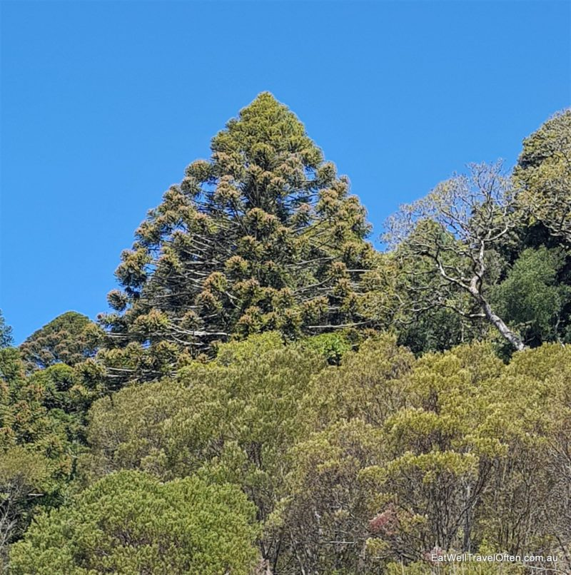 bunya tree dome