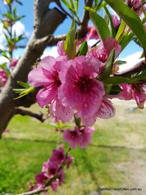 pink flowers on fruit trees